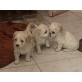 Cachorros Poodle Toy Con Maltes