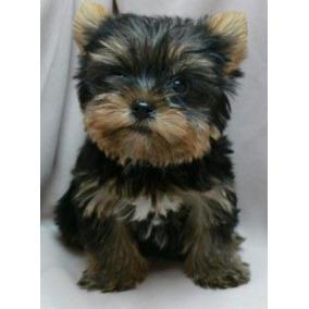 Filhote Yorkshire Terrier C Pedigree Mini Micro Baby Femea !