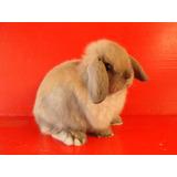 Increíbles Conejos Enano Belier (holland Lop) De Raza Pura