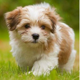 Bichon Habanero Cachorros De Padres Importados