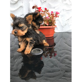 Yorkshire Terrier Hembras Cachorros_increibles