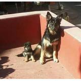 Pastor Alemán (originales) Cachorros *.*