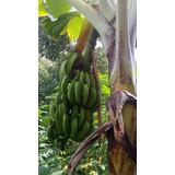 Kit Super 7 Bananas Nanica Caturra Baé Cambota 7 Rizoma Muda