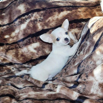 Chihuahua Pelo Corto Blanco En Pilar
