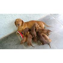 Filhotes De Salsichinhas