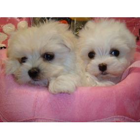 Cachorros Maltes Mini Con Vacunas