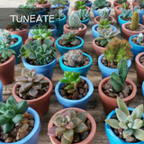 Mini Tunitas Tunas Suculentas Cactus Para Souvenir Y Regalar