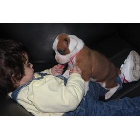 Cachorros Boxer Hembras Machos Bayo Con Blanco 100% Puros