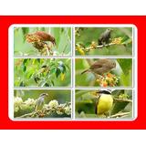 25 Sementes Fruta De Sabiá Atrai Muitos Pássaros E Abelhas