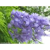 Jacaranda. 180-210cm Vivero Iris