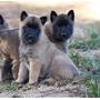 Pastor Belga Cachorros Super Calidad Vip