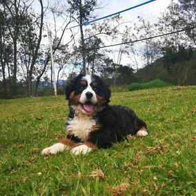 Cachorros Bernes De La Montaña. Criadero Rovers Kennel