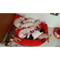 Chihuahuas Mini Blancos Divinos.