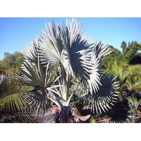 Palma Bismarckia Nobilis