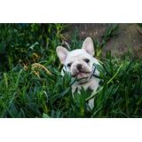 Bulldog Frances - Criadero El Alvear
