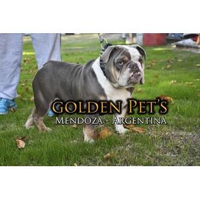 Bulldog Ingles Lilac Tricolor En Servicio De Monta - Mendoza