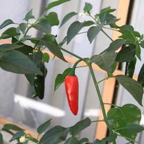 Chile Serrano ( Planta ) , Chile Verde Y Rojo , Sol