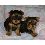 Cachorritos Yorkshire Terrier Mini