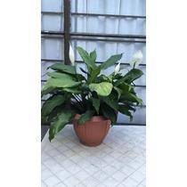 Plantas Cuna De Moises Solo Df
