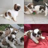 Ultima Cachorra Shitzu Miniatura Tricolor Vacunadita Envio G