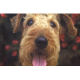Airedale Terrier, 12 Meses H. P/entendidos Con Pedigree Fca
