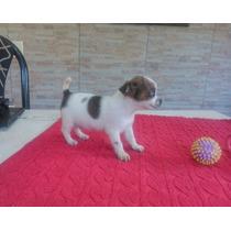 Chihuahua Machito M I N I Pelo Largo Con Pedigree De Fca !!
