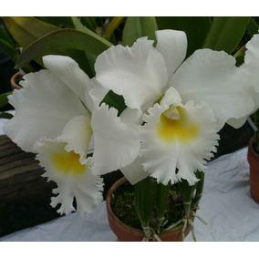Kit Com 8 Orquídeas Especiais Adultas