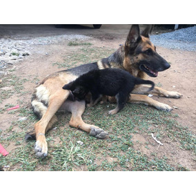 Cachorros Pastor Aleman