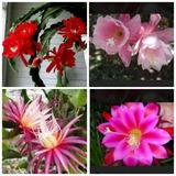 Semente De Dama Da Noite Rosa Epiphyllum Gigante Flirtation