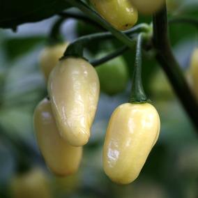Chile Habanero Blanco 10 Semillas Hortaliza Planta Sdqro