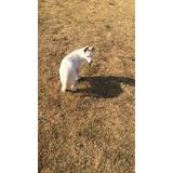 Cachorra Husky Siberiano Blanca, Ojos Azules. ¡compara!
