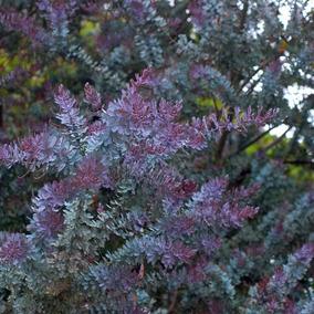 Árbol De Acacia Azul/morada De 1m