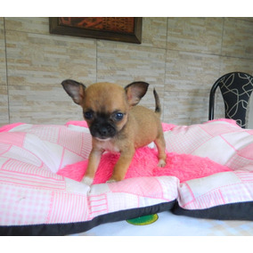Chihuahua Hembras Super Mini Pedigree De Fca!!!