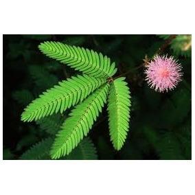 Acacia Sensitiva 5 Semillas Germina Fácil Sol Sdqro