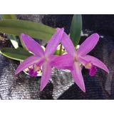 Orquidea: Lc Hibrida