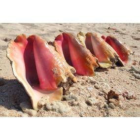 Caracol De Mar 100% Natural Acuario