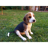 Cachorrita Beagle Inscrita Busca Hogar En Temuco