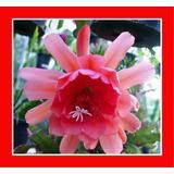 Mudas Epiphyllums Cactos Orquidea Estacas Adultas Flor Epis
