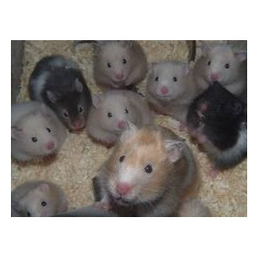 Hamster Golden Variados Colores