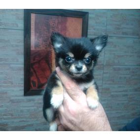 Chihuahua Hembras Mini Pedigree De Fca!!!