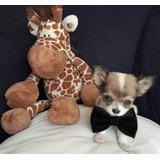 Chihuahua Cachorros De Raza Pura
