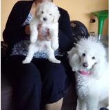 Lindos Bebes Poodles 100% Sanitos De Casa