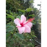 Rosa China Simple Hibiscus Altura 200 Cm