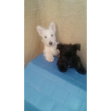 Scottish Terrier O Terrier Escoses