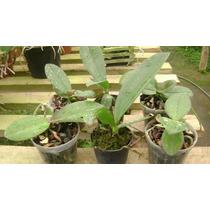 Pacote Com 6 Phalaenops
