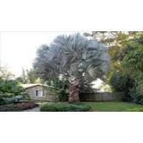 10 Sementes Palmeira Azul Bismarckia + 5 Flor Rosa Deserto