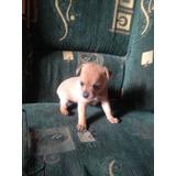 Cachorras Pincher Miniatura