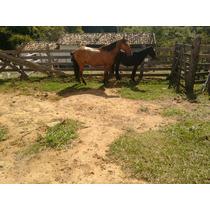 Cavalo Campolina Baio Legítimo