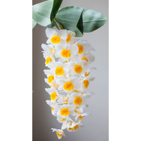Dendrobium Thyrsiflorum Adulto