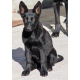 Cachorros Pastor Aleman Negro Solido Excelentes